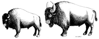 The modern bison on the left is considerably smaller than the Bison antiquus shown on the right. Drawing by Hal Story, courtesy Texas Memorial Museum.