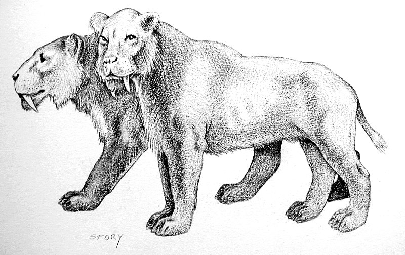 Sabertooth Tiger Drawings http://picsbox.biz/key/draw%20saber%20tooth%20tiger