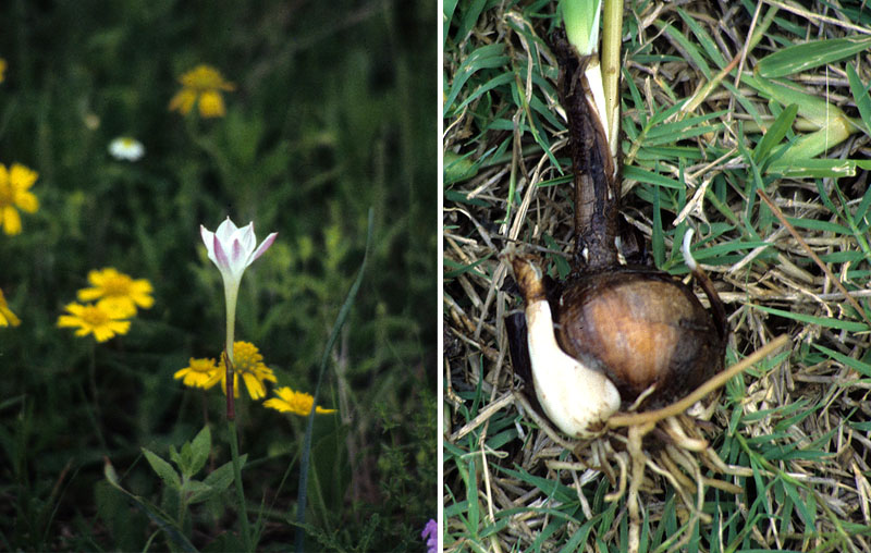 ... yellow composite; right, a rain lilly bulb dug in the early spring