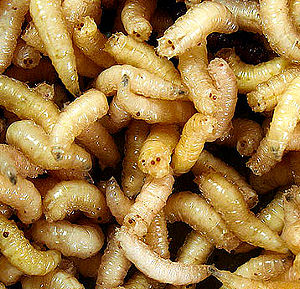 meat and maggots Some homesteaders may be able to breed fly maggots as a free source of high-quality protein for the flock.