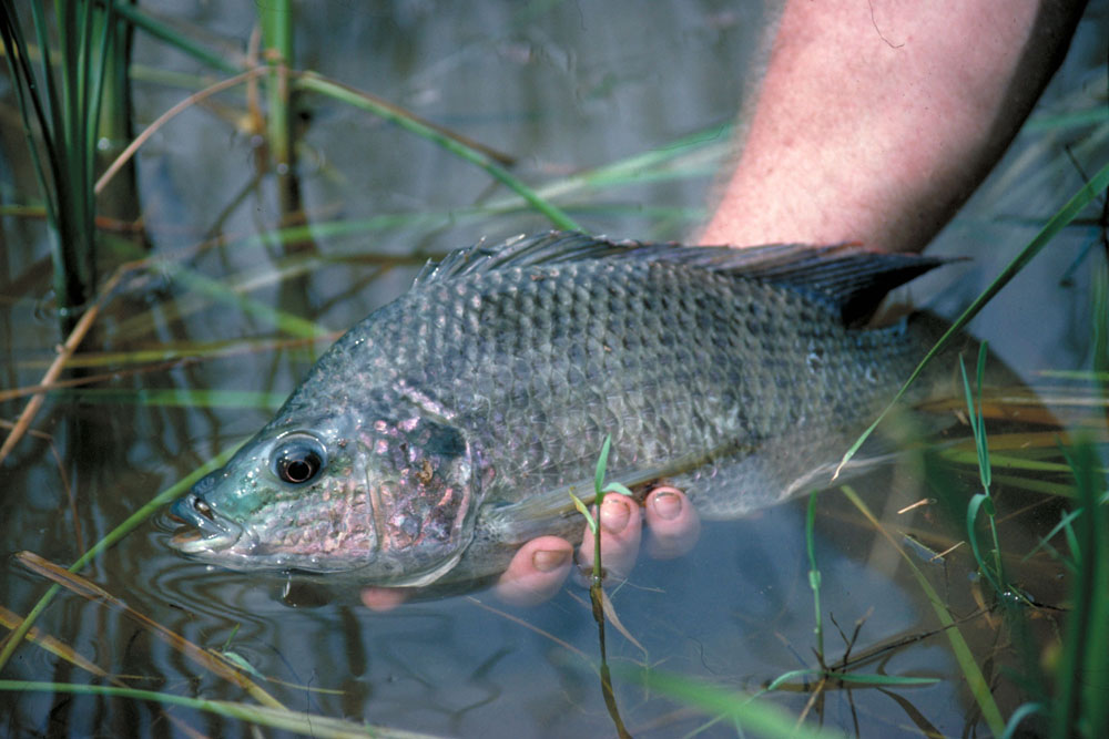 Nature 39 s harvest fish for Texas freshwater fish