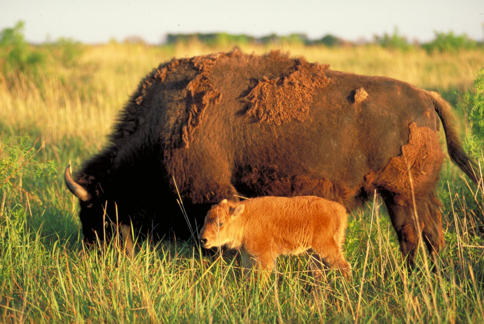 A Bison Eats A bison mother with her baby