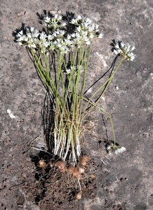 Wild Onion Identification | eHow.com