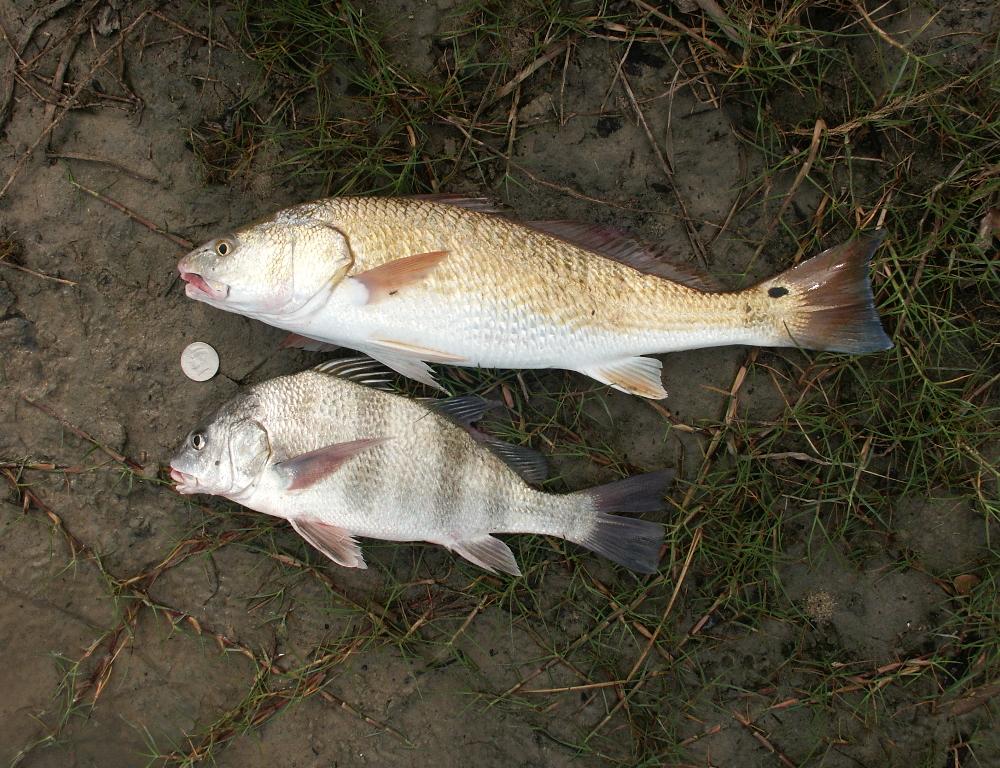 Fish for Black drum fishing