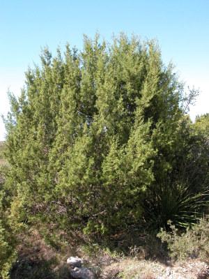 Juniper photo of red berry juniper tree sciox Choice Image